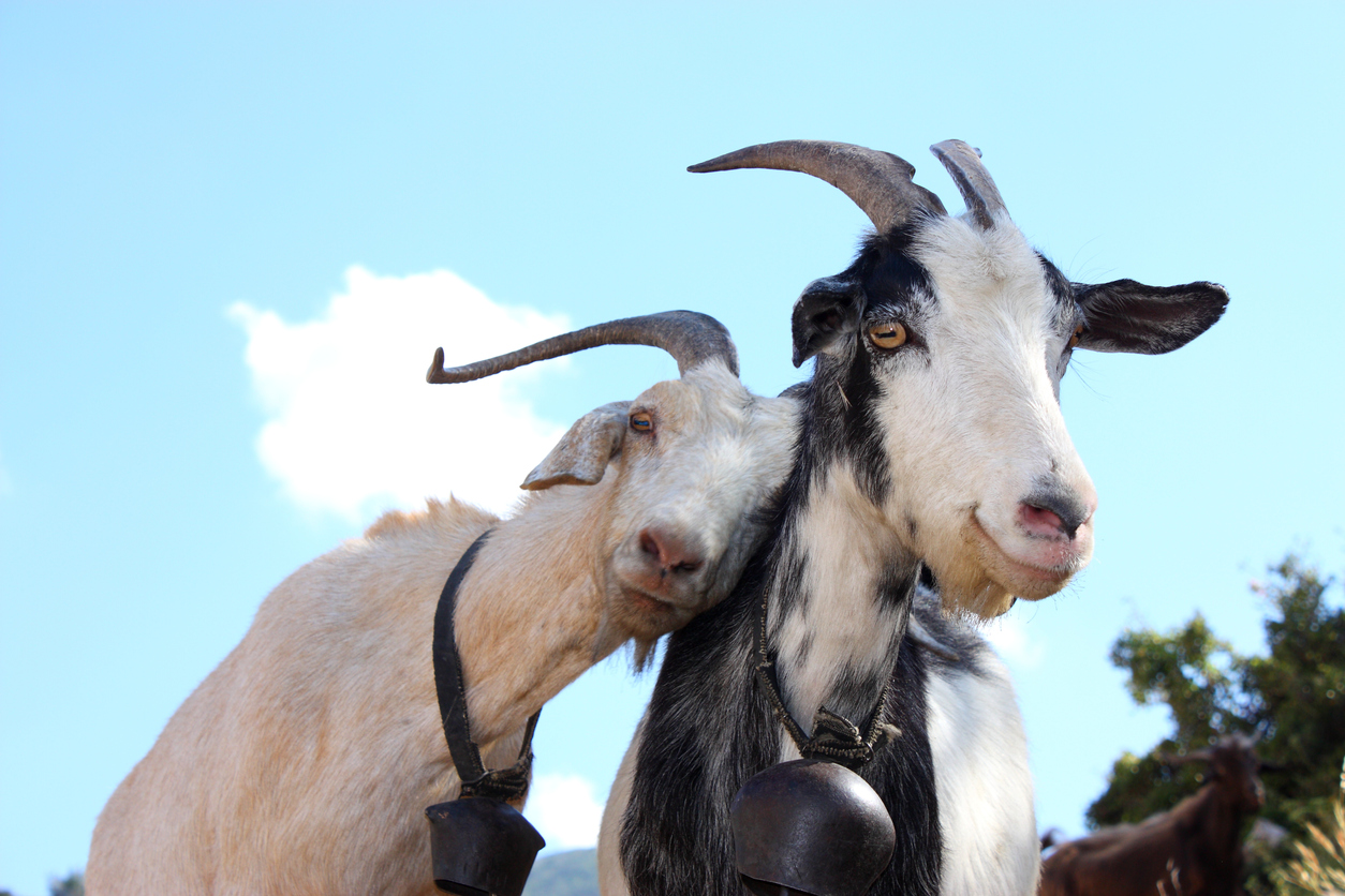 goats at a clarksburg nonprofit for animals